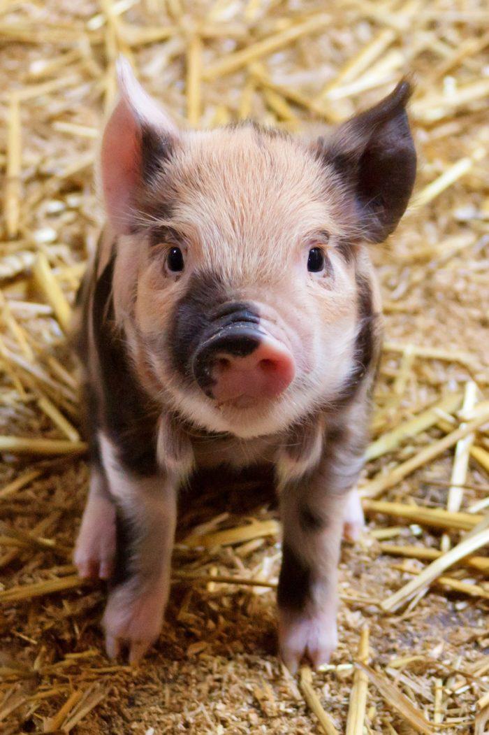 год земляной свиньи фото