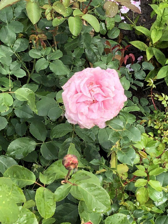 монастырь в Печорах роза
