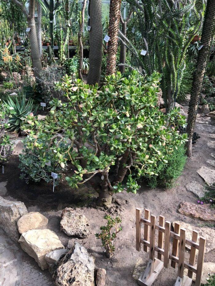 денежное дерево ботанический сад