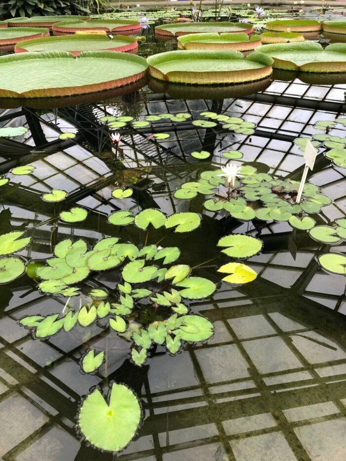 Оранжерея с лотосами в Ботаническом саду в Санкт-Петербурге